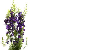 紫色Larkspur (翠雀sp ) 花定期流逝 股票视频