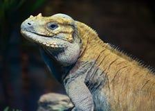 绿色Leguan在动物园里 免版税库存照片