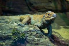 绿色Leguan在动物园里 免版税图库摄影