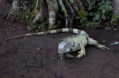 绿色leguan在密林 图库摄影