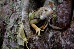 绿色leguan在密林 免版税库存照片