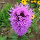 紫色Liatrius spicata 库存图片