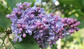 年轻紫色Liliacs 库存照片