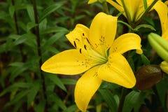 黄色lilys 免版税图库摄影
