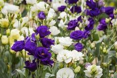 紫色lisianthus花花束  免版税库存图片