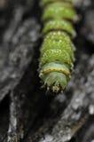 绿色Mapami蠕虫 免版税库存图片