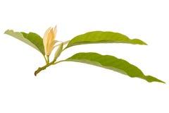 黄色Michelia晨曲x Michelia champaca,泰国 库存图片
