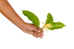 黄色Michelia晨曲x Michelia champaca,泰国 免版税库存图片