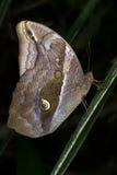 紫色Mort青斑蝴蝶(eryphanis polyxena) 免版税库存图片
