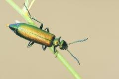 绿色muscae hispanicae 免版税库存图片