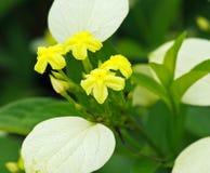 黄色Mussaenda花植物 免版税库存照片