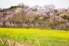 黄色nanohana盖山坡, Hanamiyama公园,福岛, Tohoku,日本的领域和开花的树 免版税图库摄影
