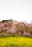 黄色nanohana盖山坡, Hanamiyama公园,福岛, Tohoku,日本的领域和开花的树 库存照片