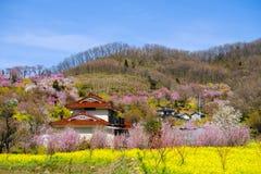 黄色nanohana盖山坡, Hanamiyama公园,福岛, Tohoku,日本的领域和开花的树 免版税库存图片