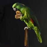 黄色naped亚马逊鹦鹉吃奶蛋烘饼 库存照片