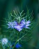 紫色Nigella damascena狂放的春天花 图库摄影