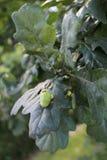 绿色oak& x27; s橡子 库存图片