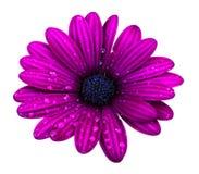 紫色osteospermum雏菊花被隔绝在白色背景 图库摄影