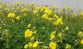 黄色Oxalis 免版税库存照片