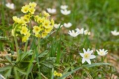 黄色oxlip和白色银莲花属花 库存图片