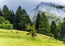 绿色pasturage在高阿尔卑斯 库存图片