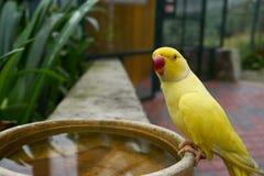 黄色Ringneck长尾小鹦鹉 免版税库存图片