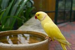 黄色Ringneck长尾小鹦鹉 免版税图库摄影