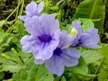 紫色Ruellia tuberosa花特写镜头本质上 库存照片