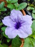 紫色ruellias花 免版税库存图片