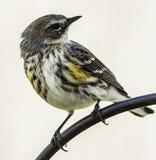 黄色rumped鸣鸟北卡罗来纳 免版税库存图片