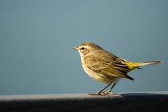 黄色Rumped鸣鸟(刚毛虫类coronata) 免版税库存照片