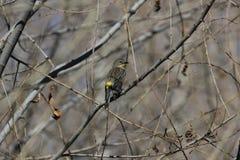 黄色rumped鸣鸟(刚毛虫类coronata) 免版税库存图片