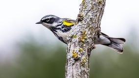 黄色Rumped鸣鸟 图库摄影