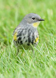 黄色Rumped鸣鸟= Dendroica coronata 库存照片
