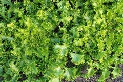 绿色salat菊苣属endivia 免版税库存照片