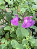 紫色salvia greggi 库存图片