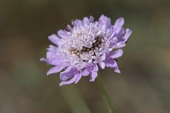 紫色Scabiosa (针垫花) 免版税库存照片