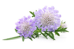 紫色scabiose 免版税库存图片