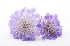 紫色scabiose 免版税库存照片