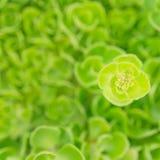 绿色sedum背景  免版税图库摄影