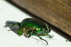 绿色smaragd甲虫昆虫 图库摄影