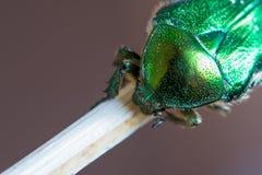 绿色smaragd甲虫被加点的电枢细节  免版税库存图片