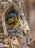 紫色sunbird小鸡 免版税图库摄影