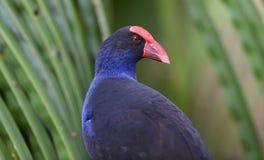 紫色swamphen与绿色叶子 免版税图库摄影