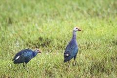 紫色Swamphen在Bundala国家公园,斯里兰卡 库存照片