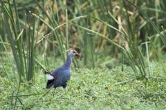 紫色Swamphen在Bundala国家公园,斯里兰卡 库存图片