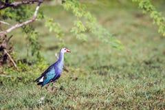 紫色Swamphen在Bundala国家公园,斯里兰卡 免版税库存图片