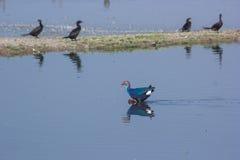 紫色Swamphen横穿湖 库存图片