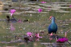 紫色swamphen 图库摄影