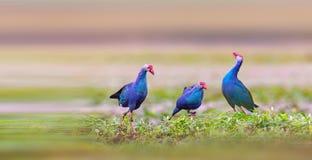 紫色swamphen 免版税库存图片